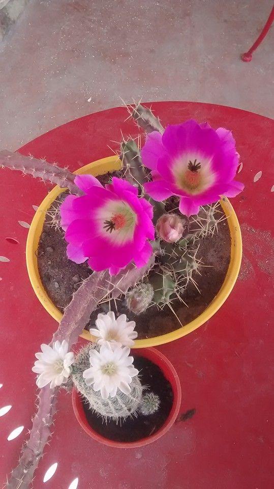 Echinocereus pentalophus y gymnocalycium bruchi var niveum de Liliana Macias