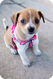 Garden City Mi Golden Retriever Beagle Mix Meet Hamby A Puppy