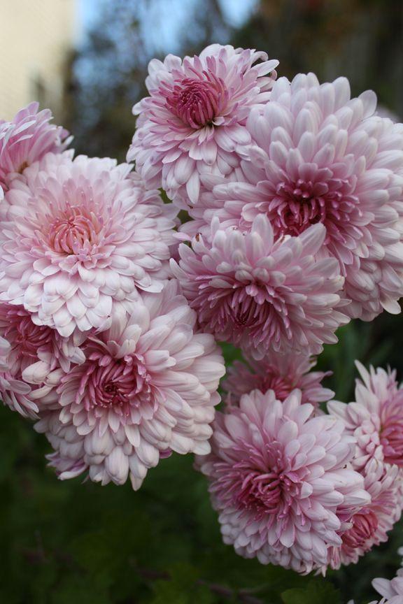 Chrysanthemum Emperor Of China And Korean Daisies Fall Flowers Chrysanthemum Growing Chrysanthemum Plant