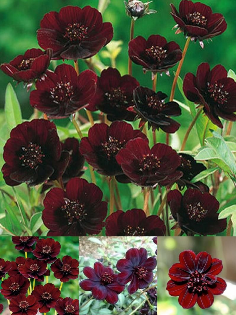 Visit To Buy Rare Chocolate Cosmos Flower Seeds Blooms All Summer Long And Has Rich Scent Like Chocolate Diy Home Flowers Chocolate Cosmos Flower Persephone