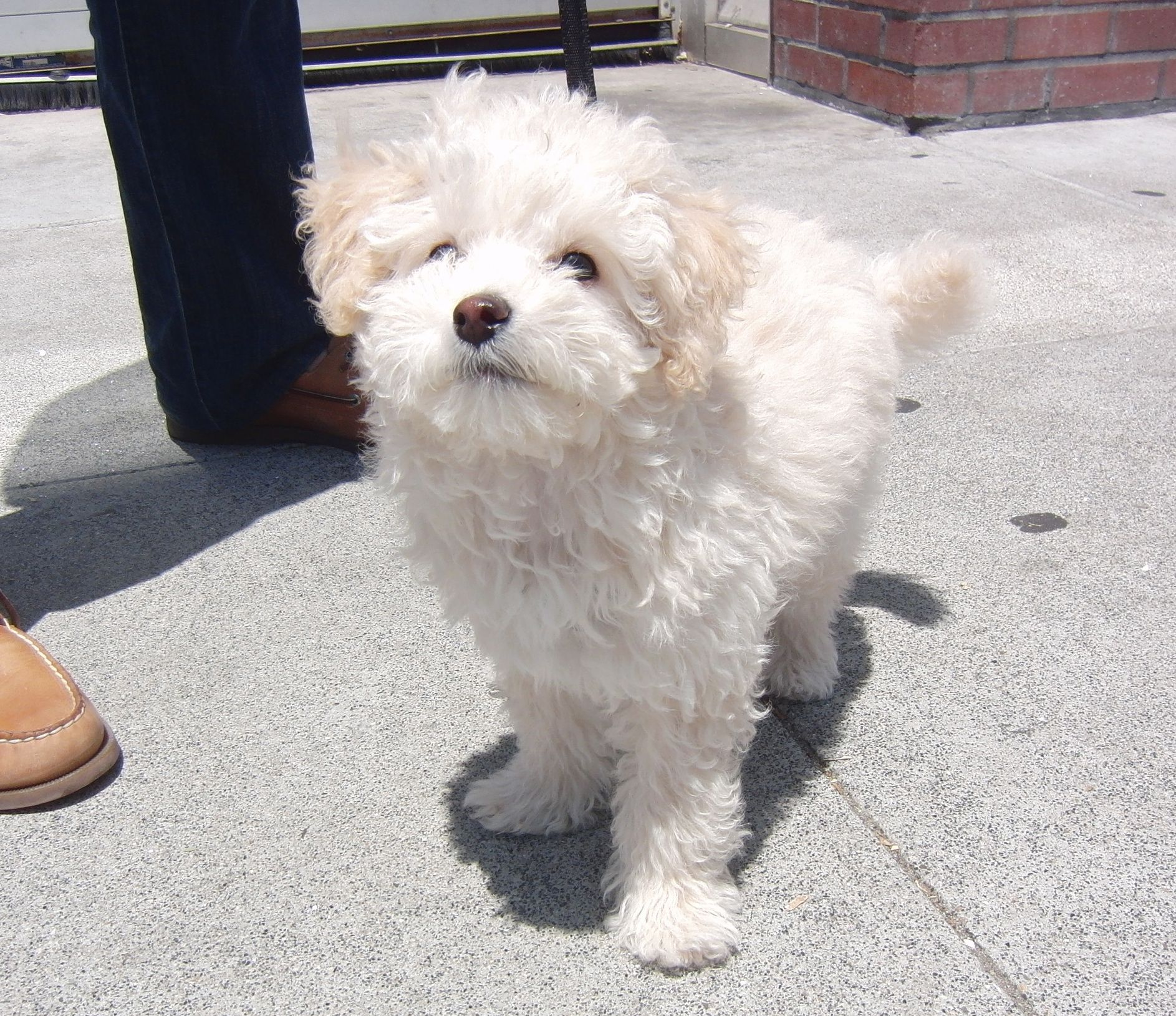 Maltese Miniature Poodle Mix Google Search Beagle Poodle Mix