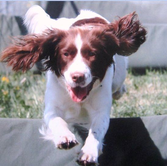 Pin By Jean Green On Special Breed English Springer Spaniels
