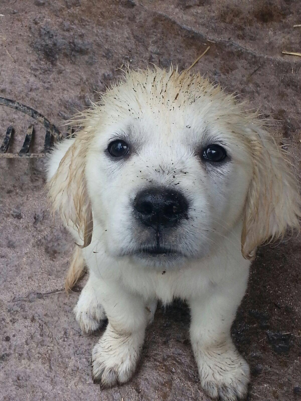 Muddy Puppy English Cream Golden Retriever English Golden