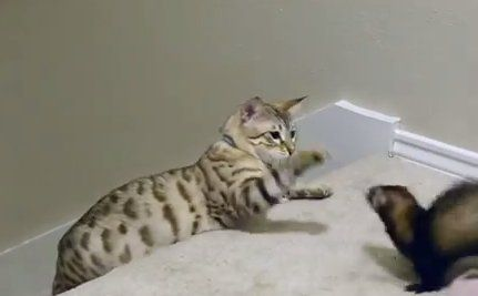 Daily Cute Ferrets Play With A Snow Bengal Cat Bengal Cat Asian Leopard Cat Cute Ferrets