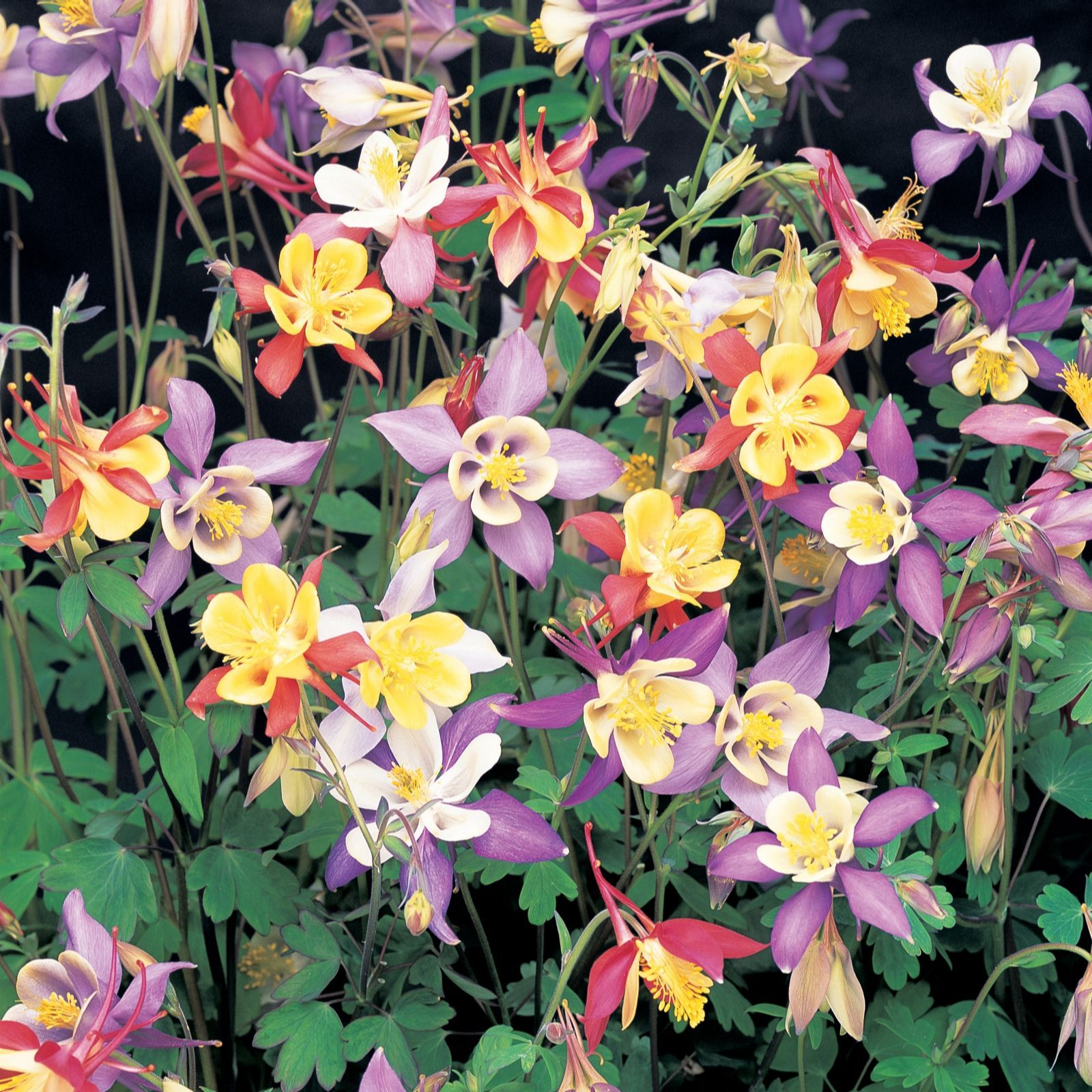 509473 Thompson Morgan 45 x Cottage Garden Perennial Garden