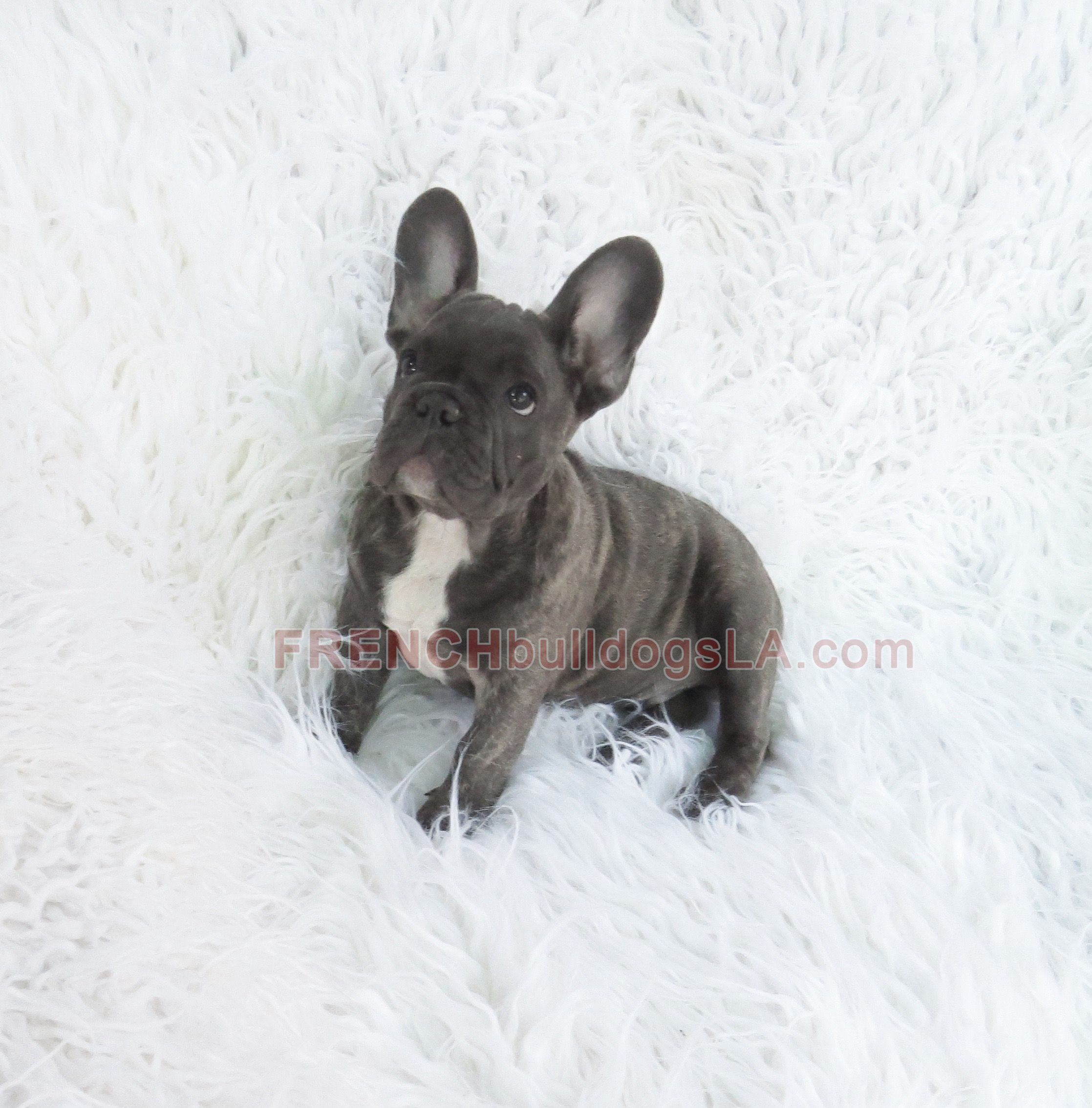 Blue French Bulldog Reverse Brindle Puppy 03 French Bulldog Blue French Bulldog French Bulldog Puppy Black