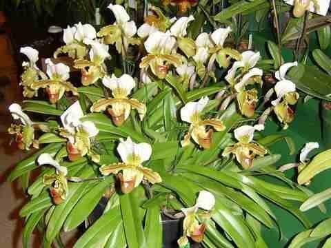 mudas-de-orquideas-sapatinho-paphiopedilum-leeanum-adultas-14601-MLB195466241_859-O.jpg (480×360)