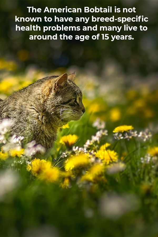 One of the most amazing American Bobtail Cat Facts is ...