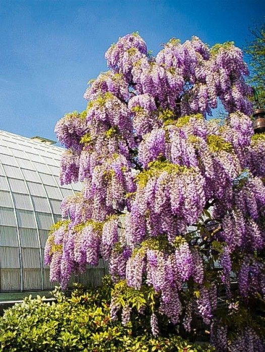 Buy Wisteria Vines Online Fast Growing Trees Purple Wisteria Wisteria Tree