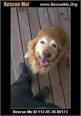 Indiana Golden Retriever Rescue Adoptions Rescueme Org With