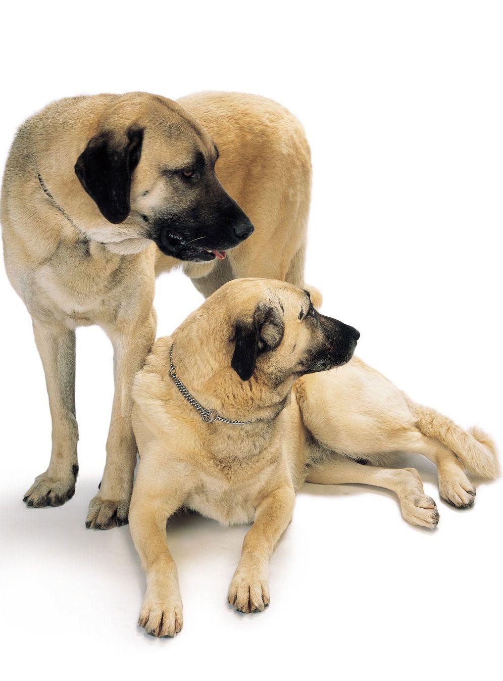 Alpaca Guard Dog Breeds