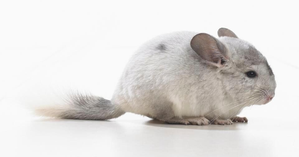 Chinchillas Best Pets For Kids Best Pets For Kids Animals For Kids