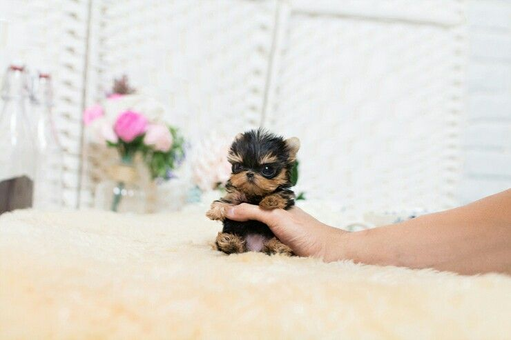 Yorkie,Tcup Yorkshire, Female, looking for new home. She