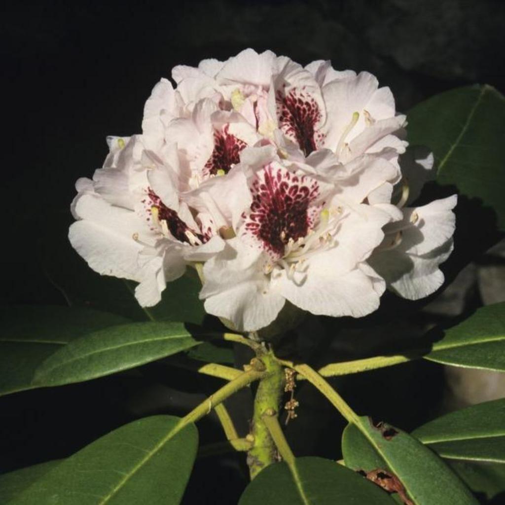 le dictionnaire des plantes par oorekafr rhododendron fiche didentit varits plantation culture entretien et maladies - Planter Un Rhododendron Dans Votre Jardin