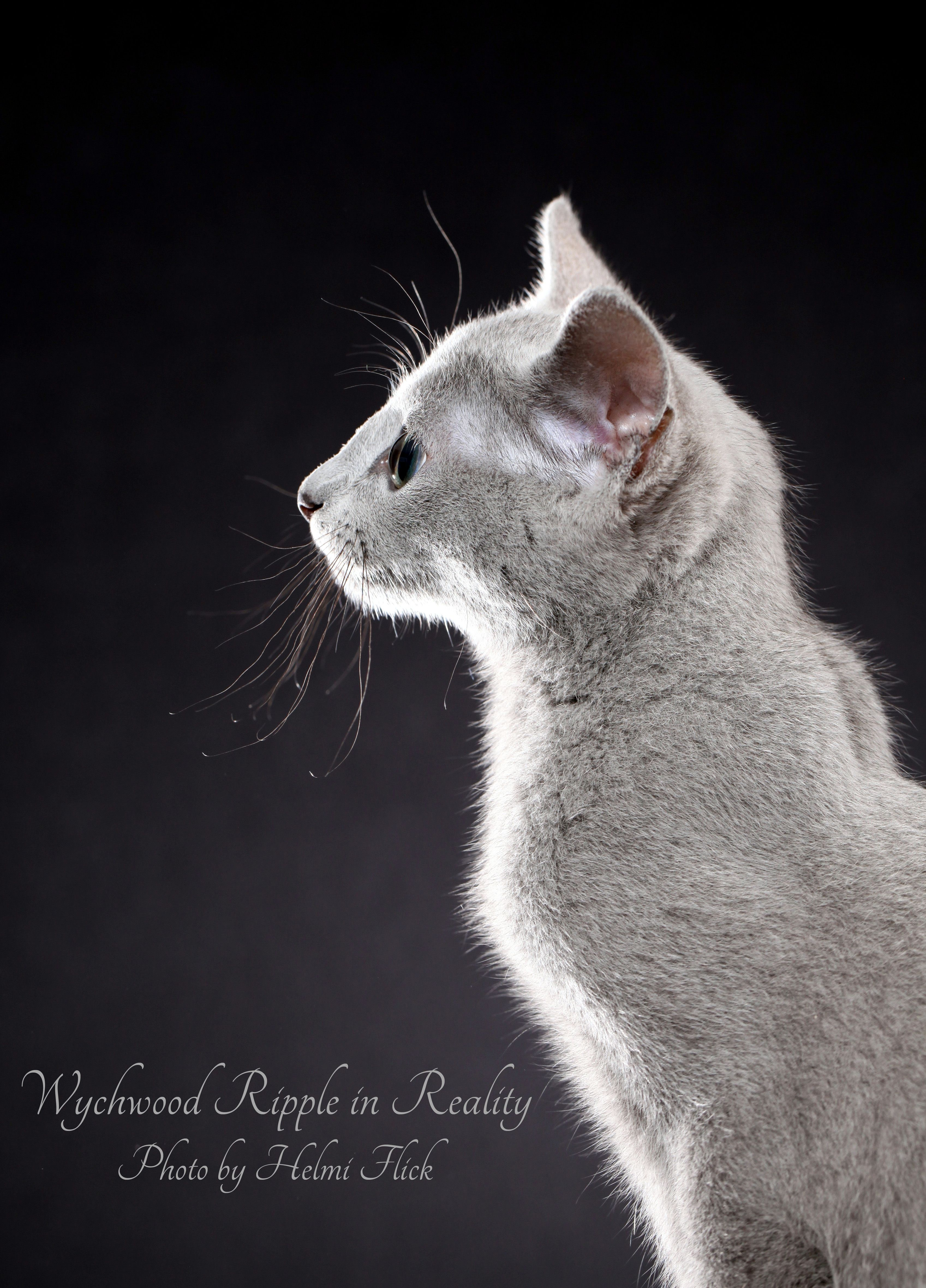 Wychwood Ripple in Reality's profile. The nose line of a Russian Blue cat should be ruler straight. Breeders strive for perfection, and every generation should be a step closer to their breed standard. Photo by Helmi Flick