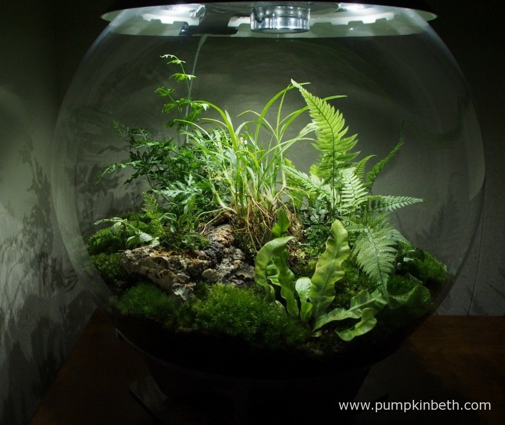 my biorbair terrarium is planted with ferns miniature orchids mosses and other plants that. Black Bedroom Furniture Sets. Home Design Ideas
