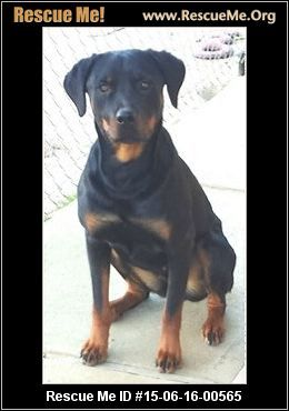 California Rottweiler Rescue Adoptions Rescuemeorg Dogs