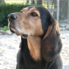 Black And Tan Virginia Foxhound Dogs Puppies For Sale Hound Dog