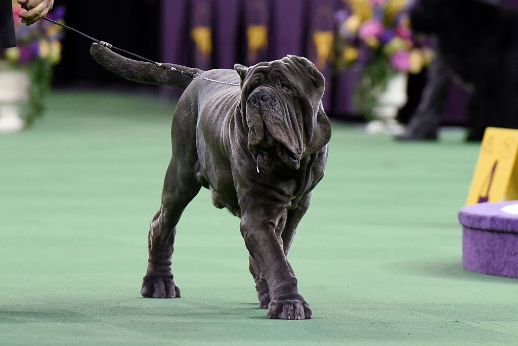 The Breeds To Watch At The 144th Annual Westminster Dog Show