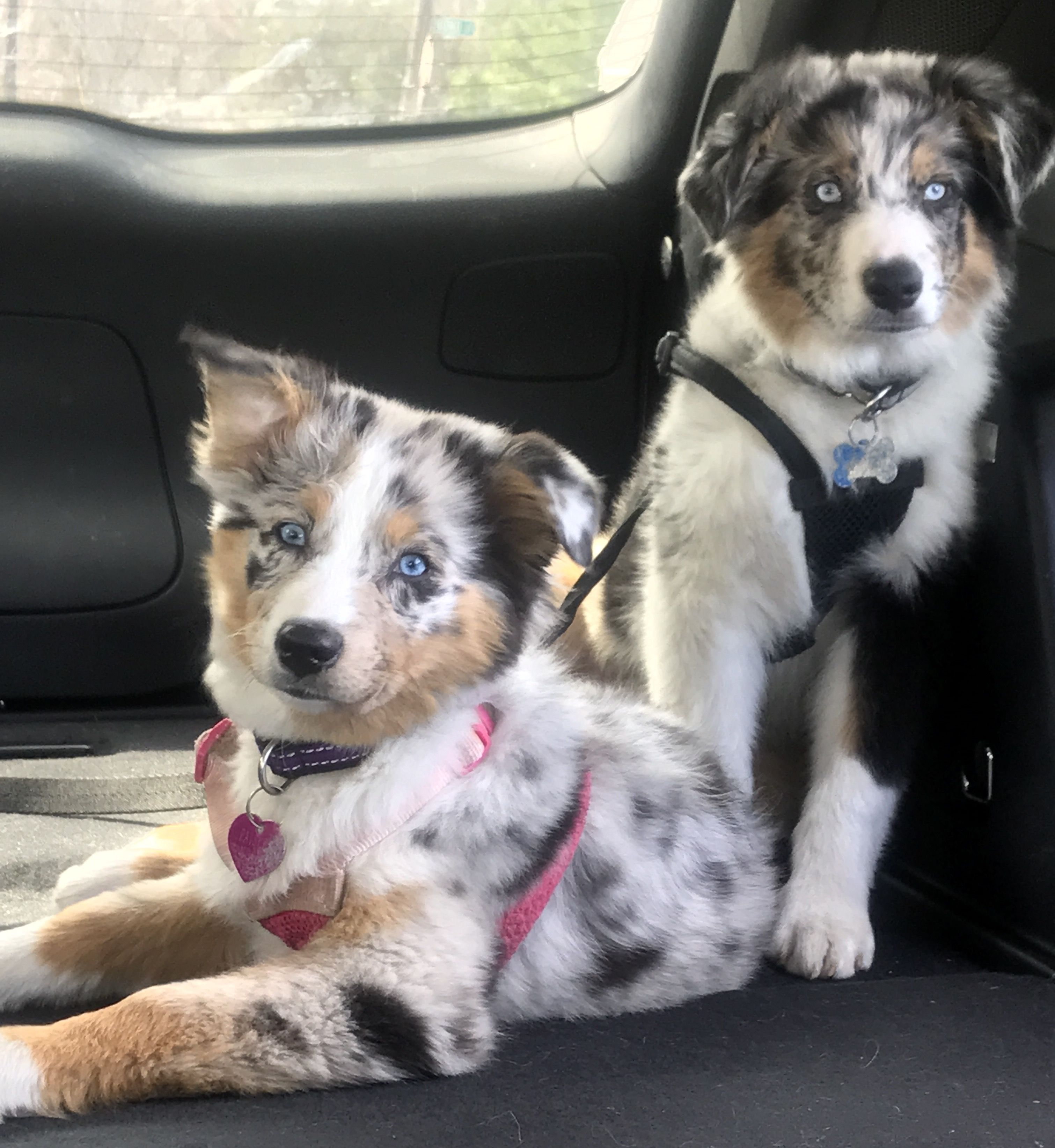 Pin By Terry Blue On Aussies Aussie Puppies Australian Shepherd Love Your Pet