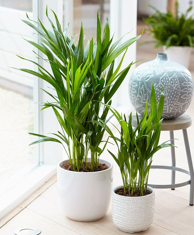 Areca palm dypsis specials from bakker spalding garden for Pictures of areca palm plants