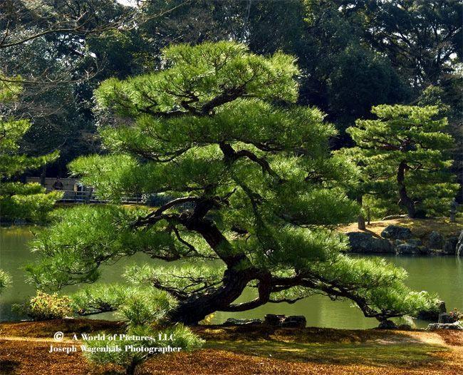 Pruned Tree Garden   Cerca Amb Google