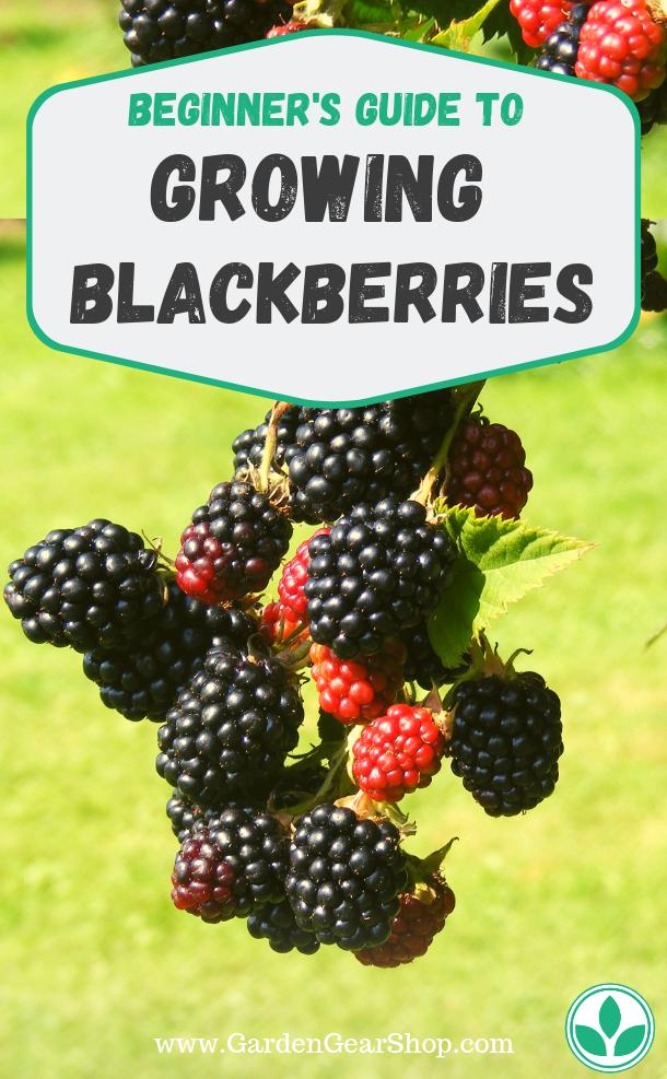Growing Blackberries Beginners Guide
