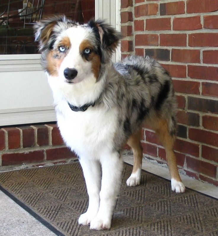 This Young Australian Shepherds Name Is Maddie Description From