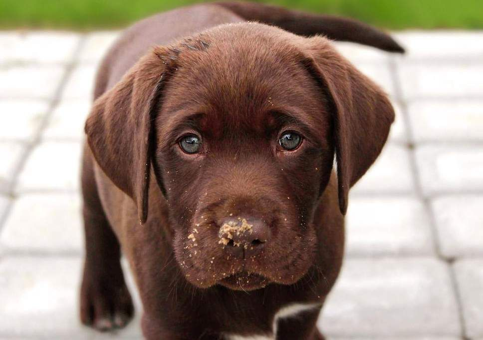 Life Expectancy Of Chocolate Labradors Is Linked To Their Colour Finds Study Puppies Labrador Labrador Dog
