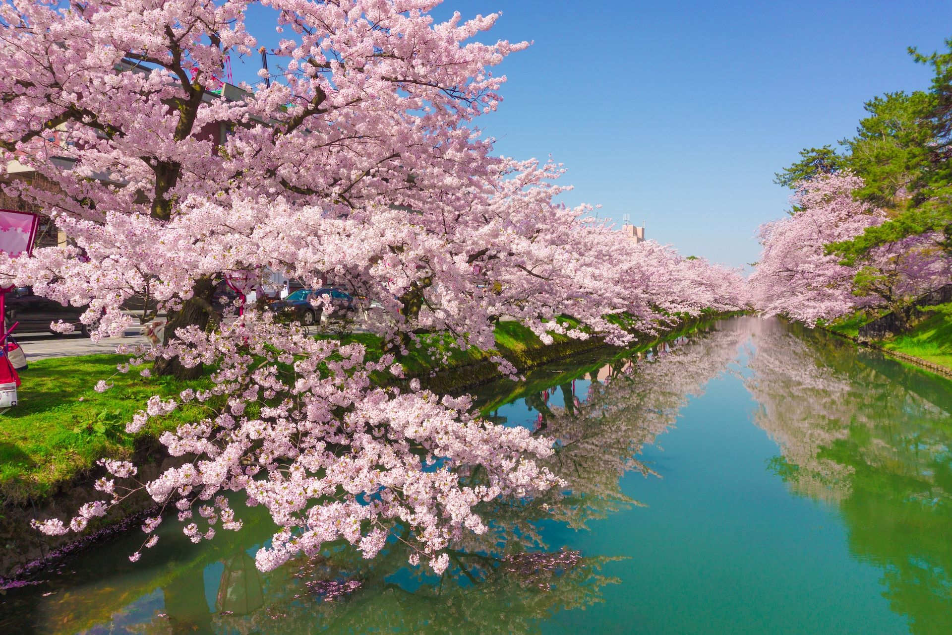 Everything You Need To Know About Seeing Cherry Blossom In Japan Cherry Blossom Japan Cherry Blossom Japan