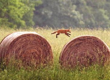 Wo der Fuchs zuhause ist