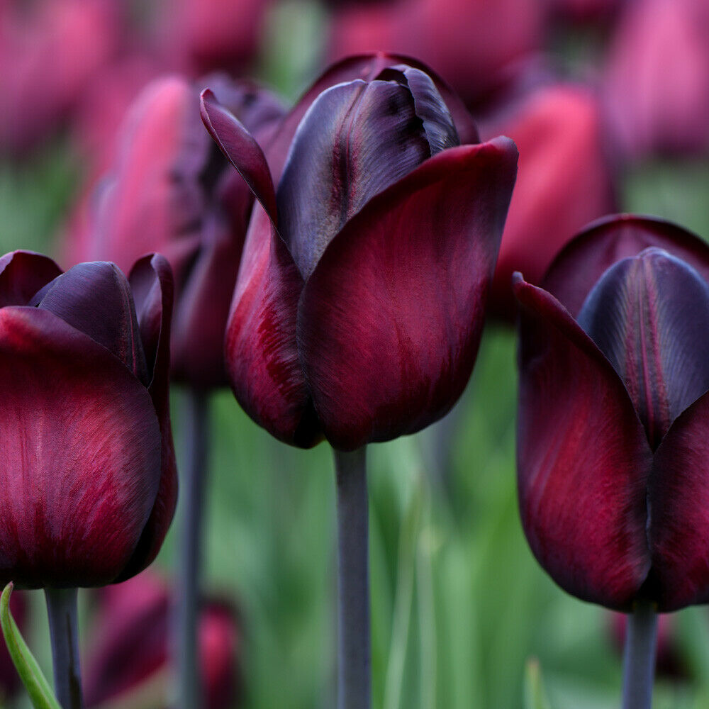Details about Tulip Bulbs Hardy Flowering Perennial Plant