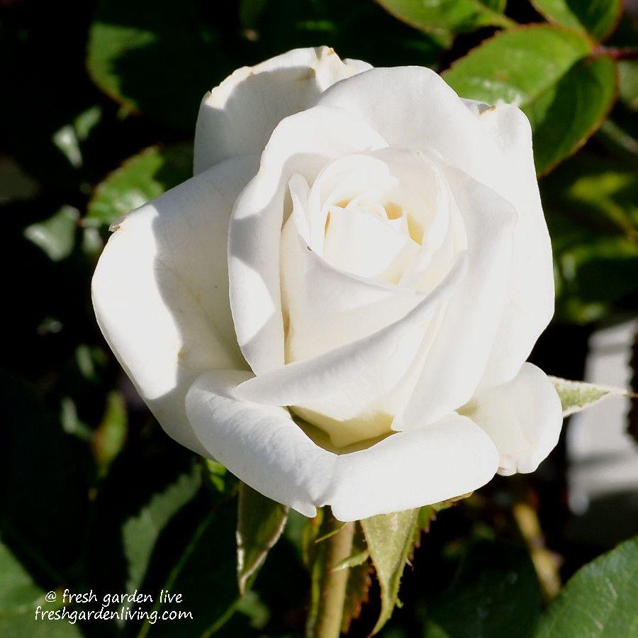 White Garden Rose Bush iceberg climbing rose bush is heavenly! the pure white flowers