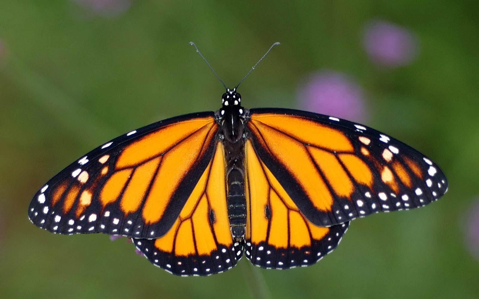 free monarch butterfly wallpaper wallpapers download butterflies