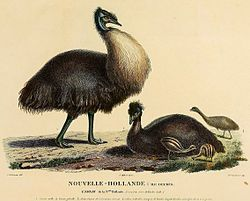 The Kangaroo Island Emu's extinction has been attributed to hunting and habitat clearance through burning.[15]