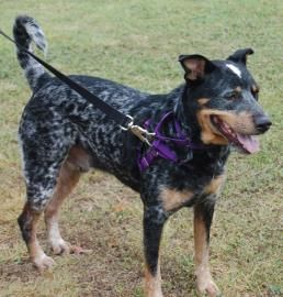 This Is Diesel A 3 Year Old Australian Cattle Dog Rottweiler Mix