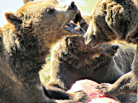 3 brown bears and popsicle at Wildlife Safari in Winston Oregon.  http://www.travelingwithmj.com/2013/07/postcard-from-wildlife-safari/  #animals