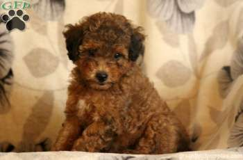 Flora Sheltidoodle Puppy For Sale In Pennsylvania Puppies For