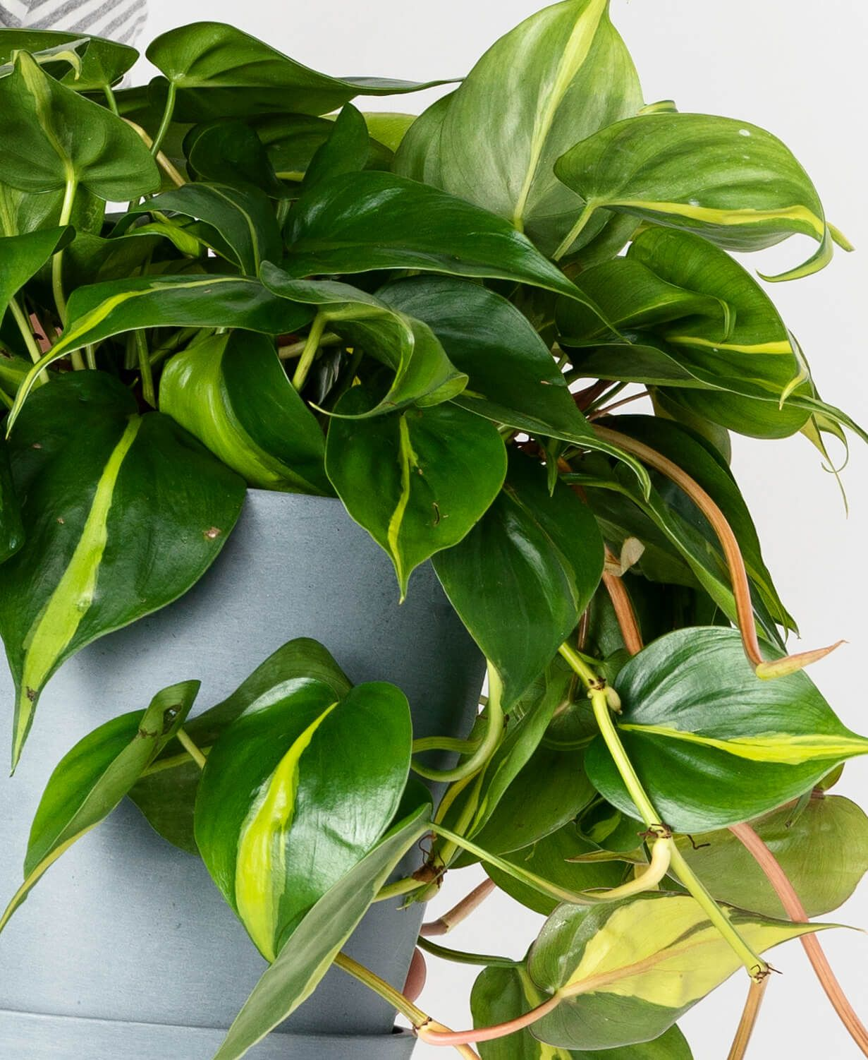 Why Are My Philodendron S Leaves Curling Bloomscape In 2020 Philodendron Plant Philodendron Plant Shed