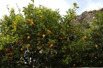 Cómo se poda un limonero