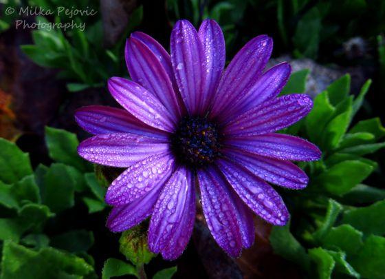 Cee S Fun Foto Challenge The Color Purple Purple Flower Tattoos Purple Tattoos Aster Flower Tattoos