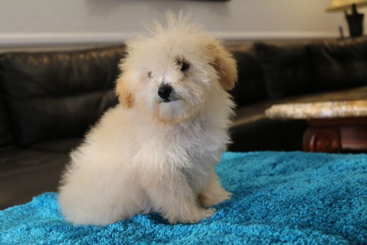 Puppies For Sale Tiny Toy Goldendoodle, Micro Mini