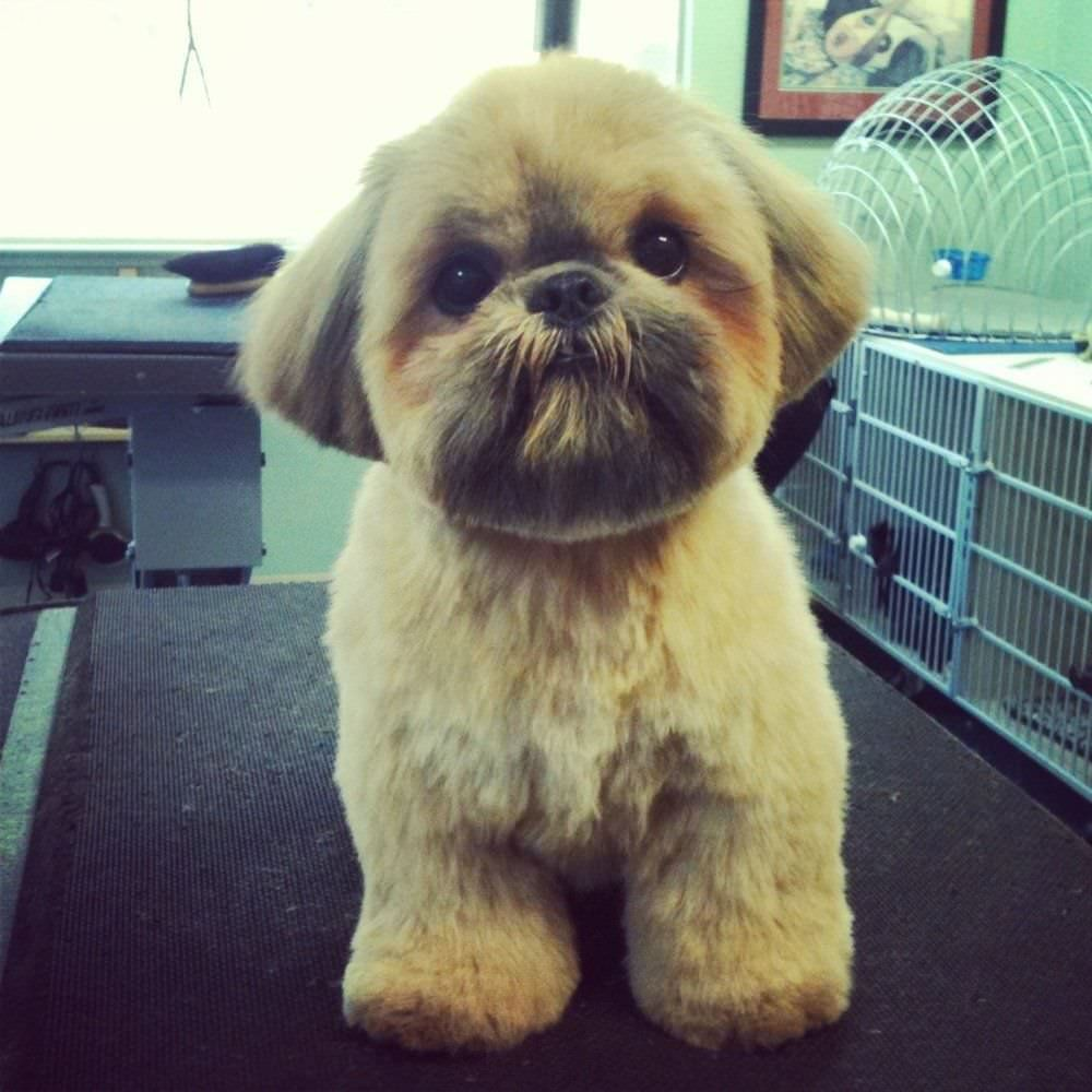 Top 10 Popular Shih Tzu Haircuts 30 Pictures The Paws In 2020 Shih Tzu Shih Tzu Puppy Shih Tzu Haircuts