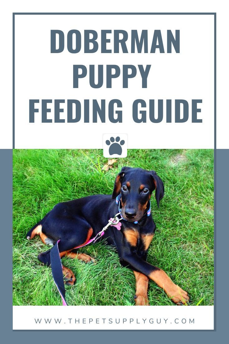 How Many Cups To Feed A Doberman Puppy Puppy Feeding Guide