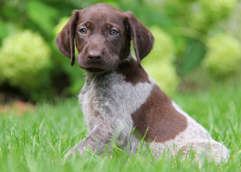 German shorthaired pointer puppies for sale pointer