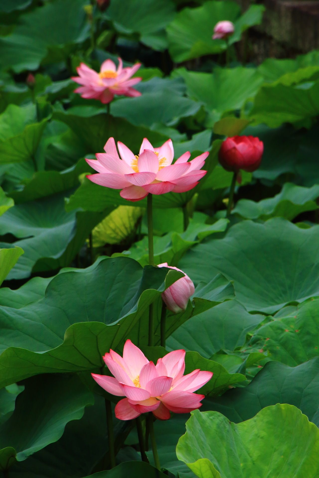 心の中で咲く時にポンと音がする蓮の花 蓮の花 ハスの花 美しい花