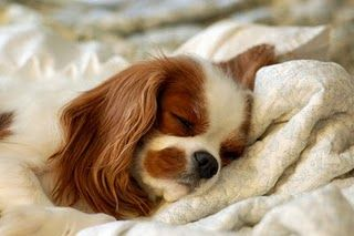 My next dog will be a Cavalier King Charles Spaniel