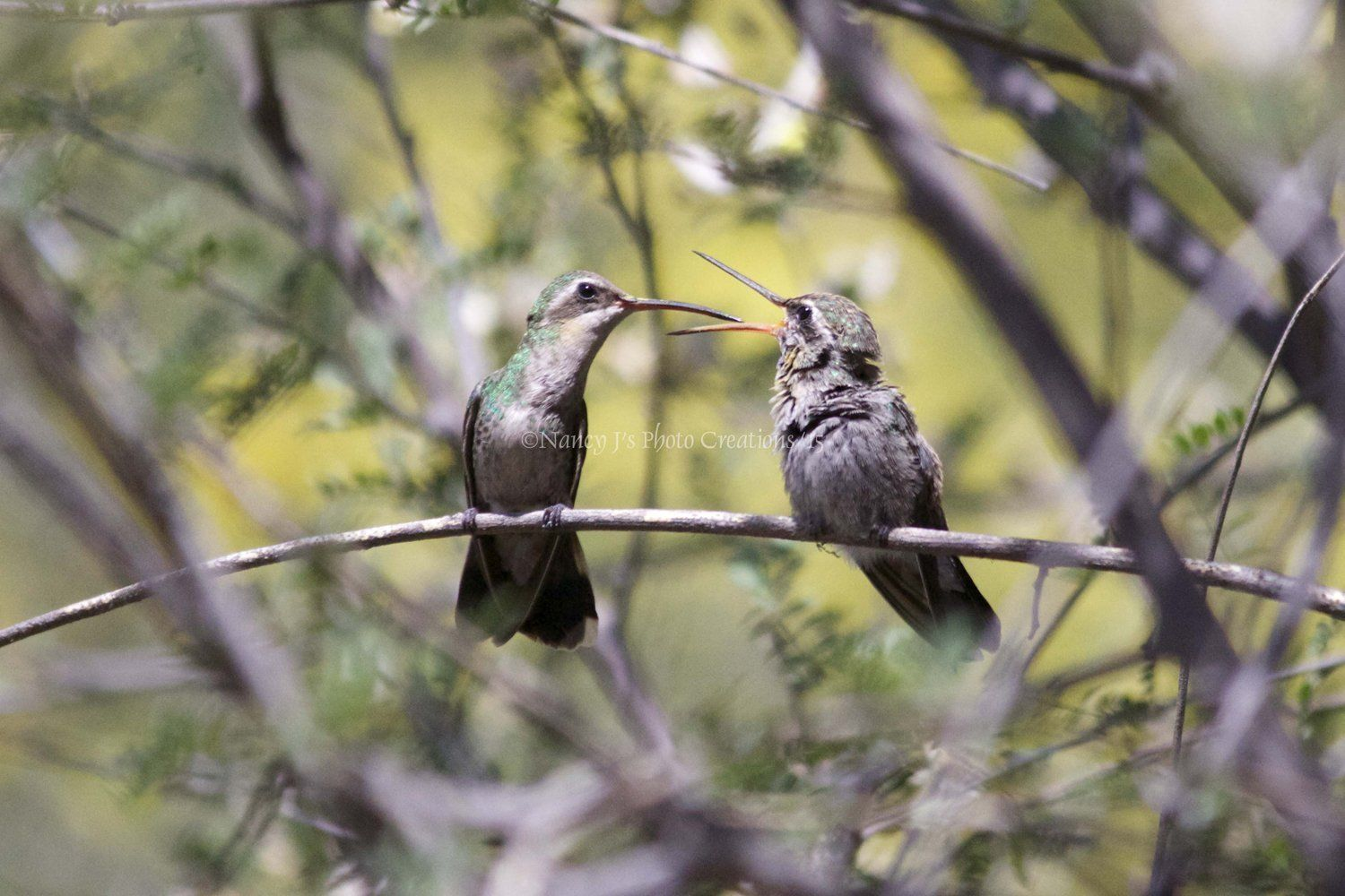 Mother and baby hummingbird photo unframed fine art nature