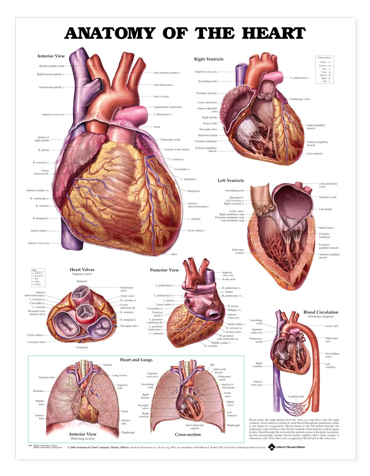 Heart Anatomy Wall Chart 20\