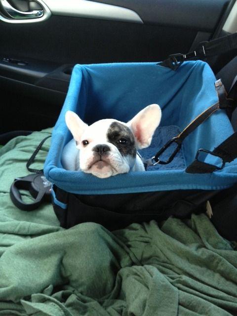 When I have a Frenchie, I'll take him everywhere